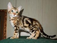 These 3 gorgeous Bengal kittens prepare now. The sweet