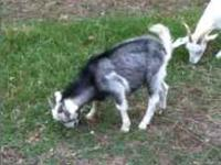 Three Kiko Buck Goats. Born in July - 4 months old. $70