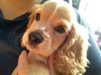 I have five Cocker Spaniel new puppies available; 3