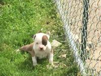 2xs Easyrider male bully pups for sale. The parents are