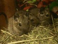 I have 3 male, one month old degu pups for sale. Price: