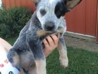 We have 3 male blue heeler puppies for sale. They are