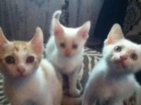 3 Male Kittens 1St Shot And Dewormed Done. Email Me For