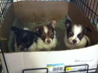 Here are some very cute male longhaired Chihuahua 8