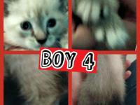 Three Siamese kittens left. All males. 1 seal point, 2