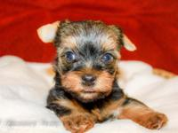 I have 3 Male purebred Yorkies readily available for