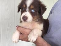 #3 Max is an AKC Registered Red Tri Male with one blue