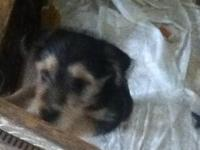 We have a 3 month old Minature Collie Shepherd and
