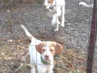 1 male and 1 female pure bred English Pointers; born