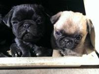 I have 3 3 month old purebred pug puppies for sale 2