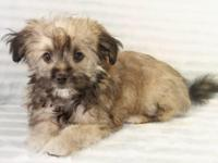 Havanese girl, 3 months old, looking for a new family.