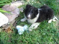 3 months Sheltie boy AKC registered (of course) Sire: