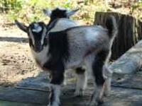 Three Nigerian Dwarf bucklings.....$200.00 Born