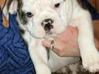 I have 3 olde English bulldogges available ... They are