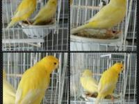 Selling 3 different pairs of Canaries 1) Red Factor