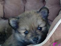 We have 3 Pomeranian puppies for sale. 2 children, one