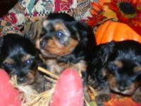 We have 3 Precious Female (Limited AKC which means No