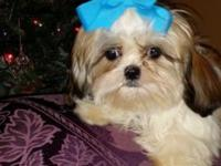 I have 2 Shih Tzu Cavalier King Charles cross puppies