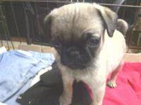 FOR SALE: 3 Purebred Pug Puppies - There are 2 Black