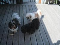 I have three shih-tzu dogs that require loving homes.