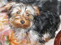 I have 3 purebred Yorkie males for sale. Asking just