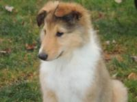 I have up for adoption, 3 Rough Collie Puppies, 3 girls