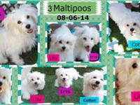 These 3 Maltipoos are 4 months old and trying to find a
