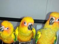 I have 3 Sun Conure babys 3 mths.old will be ready to