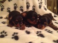 Only two females left available! Beautiful Yorkshire