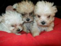 cutest morkies ever...and smaller than ever! these