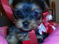 Three female yorkie babies for sale! I am not a breeder
