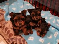 Hi , I have 3 cuttest new born, 6 weeks old yorkies