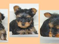3 Beautiful, Tiny, AKC Yorkie Girl Puppies. These