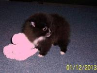 <3 Beautiful BabyDoll Female Pomeranian Puppy!<3 Very