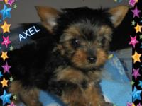 3 Small AKC Registered Male Yorkies available. 8 weeks