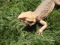 "WE HAVE A 3 YEAR OLD BEARDED DRAGON 16"" LONG IN A 120"