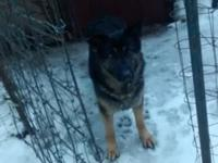 Carmen is a really stunning 3 yrs old black/tan female