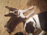 I have a 3 year aged Boston terrier/frenchie spayed