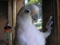 Dumplin is a 2- 3 Year Old Female Goffin Cockatoo.