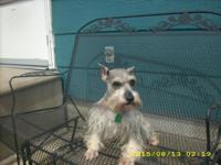 Sheba is a purebred 3 year old miniature schnauzer: Her