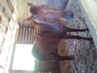 daisey is a three year old red roan who is cutrently