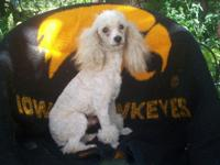 3 year toy poodle male, he is house broken and is still