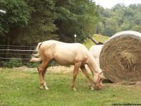 1 yearling palomino AQHA colt. 600.00 1 yearling near