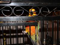 I am downsizing and selling my 3 baby sun conures with