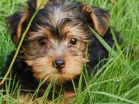 Adorable Yorkshire Terrier puppies ready for their