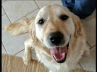Leah, Beautiful English Golden Retriever female is 3