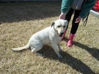 Beautiful 3 year old AKC Yellow female lab. She is not