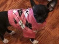 Bella is a 3 year old black and white chihuahua who is