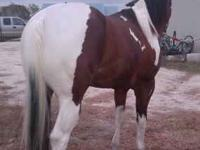 I HAVE A VERY GENTLE PAINT STUD/STALLION FOR SALE, HE