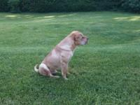 Pure breed Chinese Shar-pei seeking loving home, great